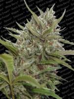 Auto White Berry - Paradise Seeds