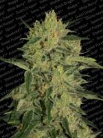 Nebula II CBD - Paradise Seeds