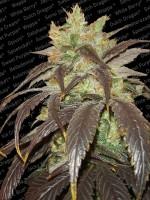 Spoetnik #1 - Paradise Seeds