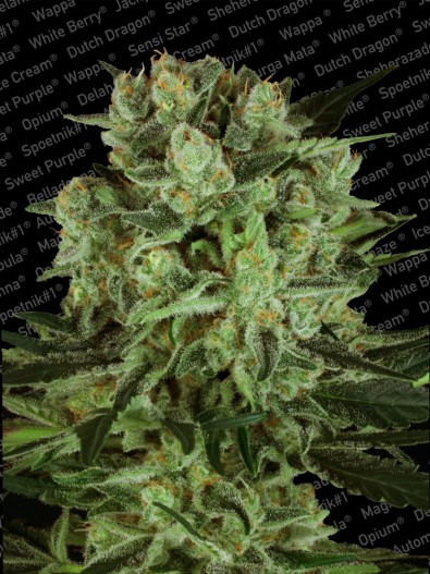 Durga Mata II CBD - Paradise Seeds