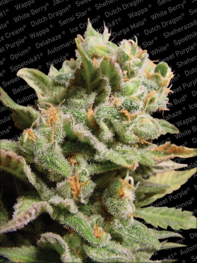 Dutch Dragon - Paradise Seeds