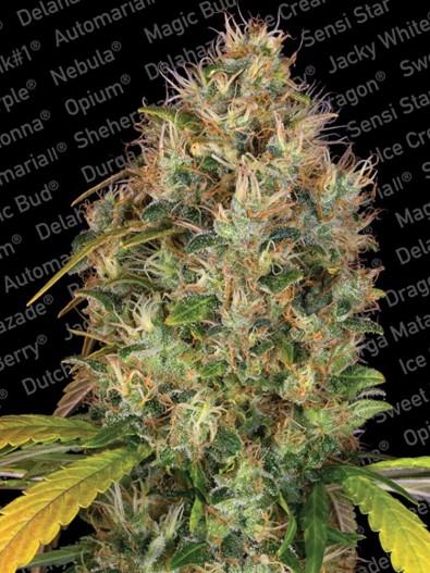 Paradise Seeds Dutch Kush®