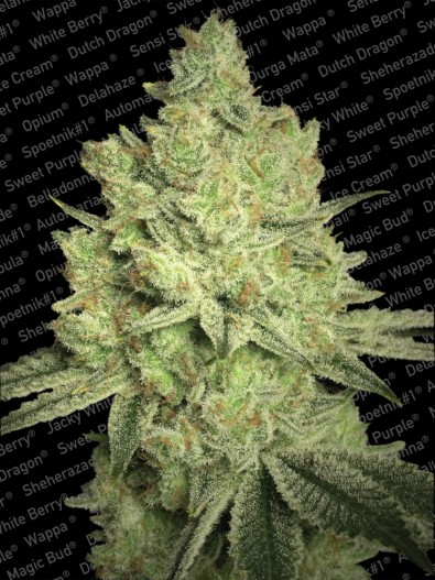 Jacky White - Paradise Seeds