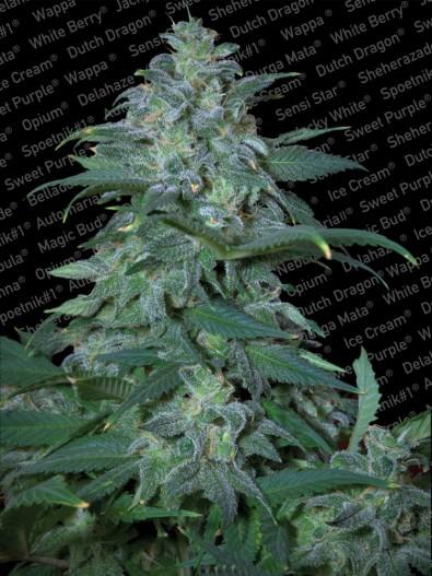 Magic Bud - Paradise Seeds